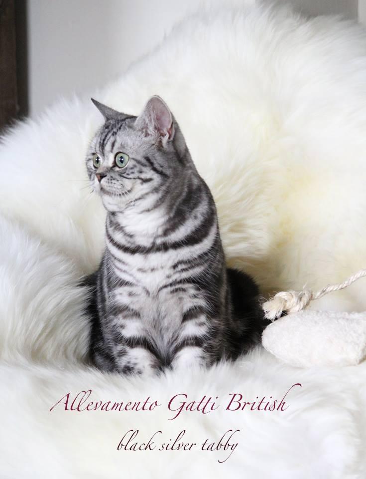 Allevamenti Gatti British Bri Fife Gatti British Shorthair