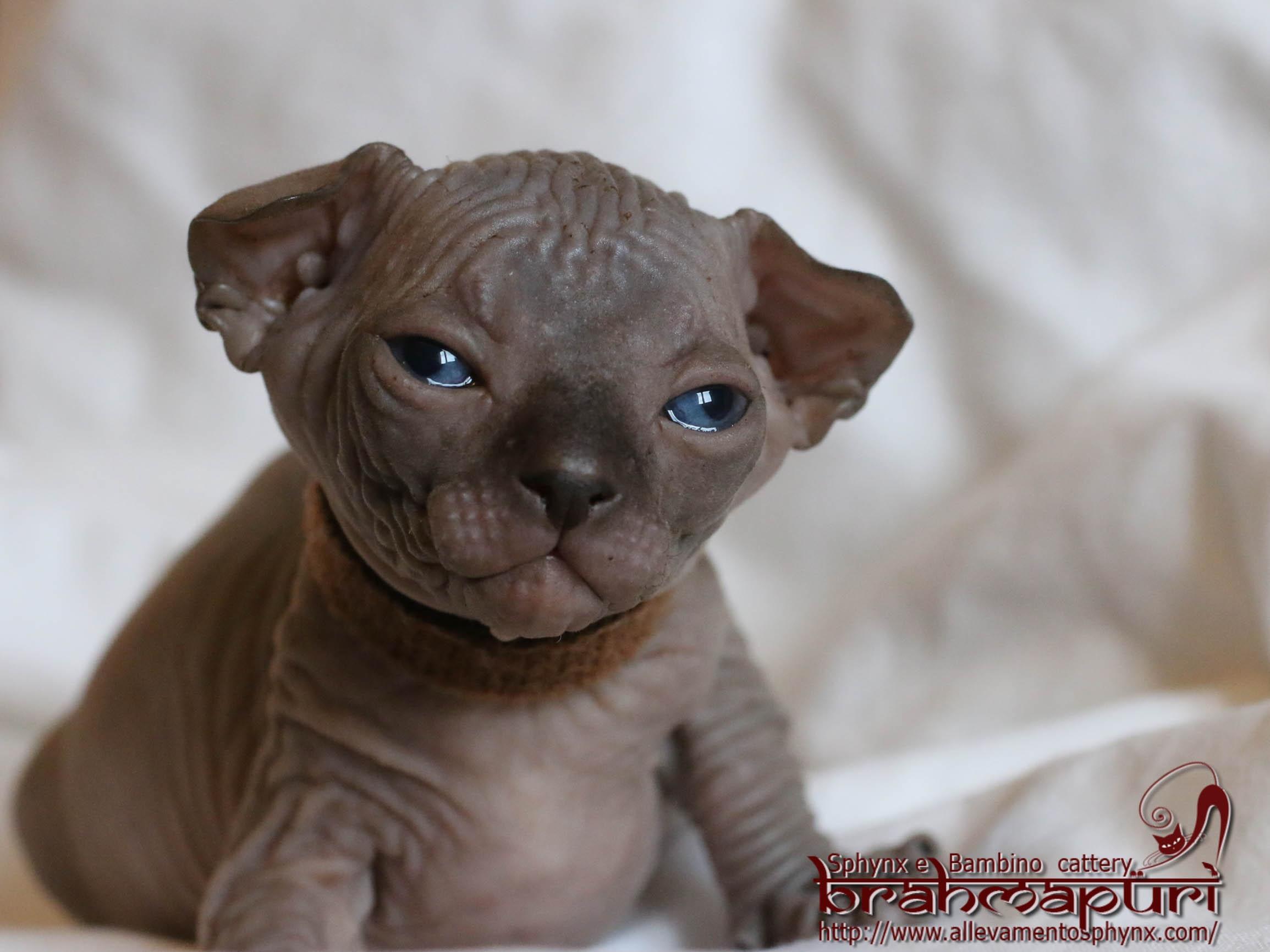 Amato Allevamenti gatti Sphynx (SPX) - FIFe - Cuccioli di gatto di razza  NL47