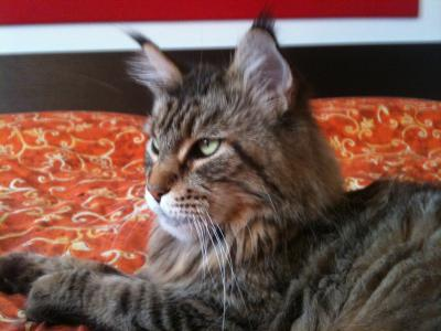 Italian Wonder Maine Coon Cattery